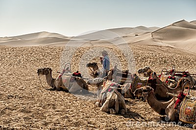 Camels resting at Mingsha sand dunes Editorial Image