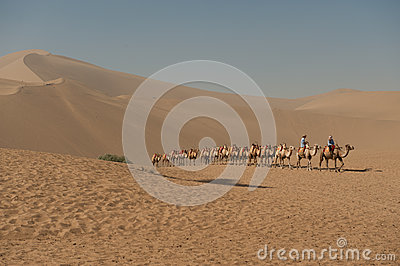Camels returning to camp at Mingsha sand dunes Editorial Photo