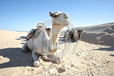 Camels in Sahar