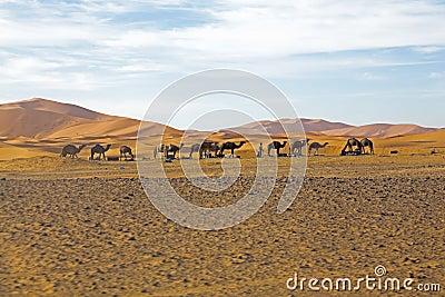 Camels in Sahara Desert in Morocco