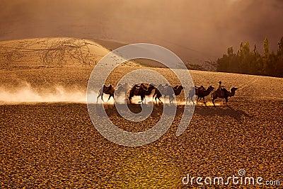 Camels team in desert