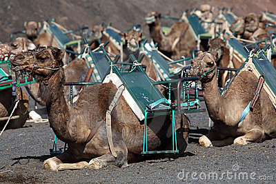 Camels waiting for tourists, Lanzarote