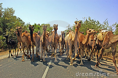 Camels on the way.