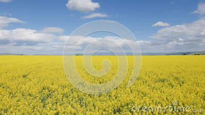 Camera rising and revealing large canola field stock footage