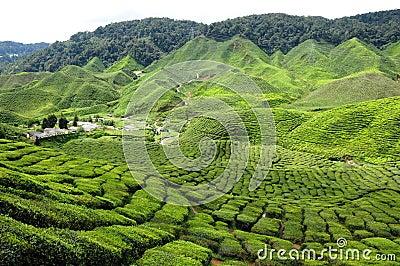 Cameron Highland, Malaysia
