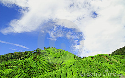 Cameron Highlands Tea Plantati