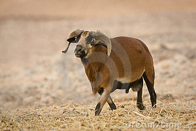 Cameroon Sheep male