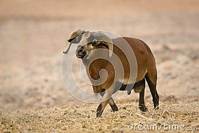 Cameroon Sheep male