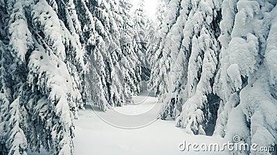 Caminando por el bosque nevado invernal con abeto alto y pino Hermoso panorama de montañas nevadas con bosque cubierto de nieve metrajes