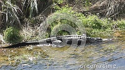 Caminata y natación de cocodrilos almacen de metraje de vídeo