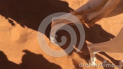 Cammello che cammina sul deserto di Taghit, piedi del movimento lento del cammello Bechar di camminata, Algeria video d archivio