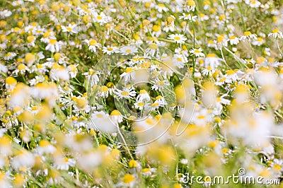 Camomile field
