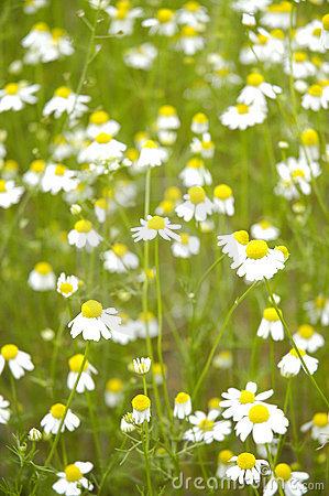 Free Camomile Field II Stock Photos - 169083