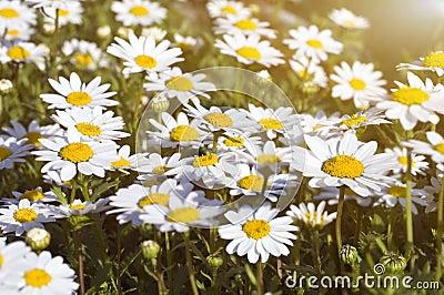 Camomile field under the sunlight