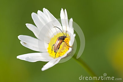 Camomile flower and Beetle
