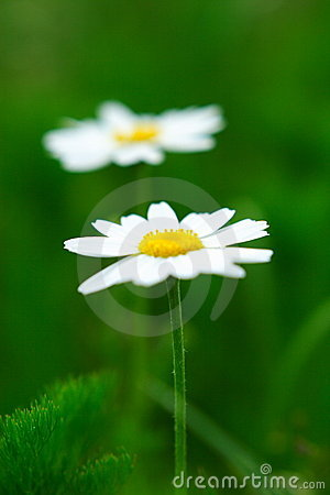 Camomile flowers pair