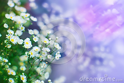 Camomile flowers, shallow depth of field shot