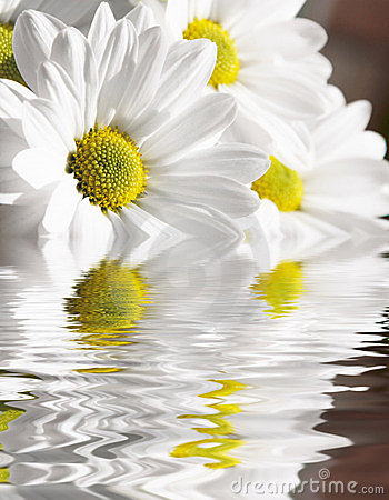 Free Camomile In Water Royalty Free Stock Image - 12134566