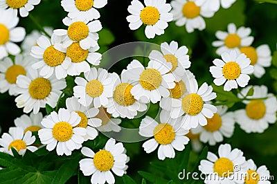 Camomiles λευκό