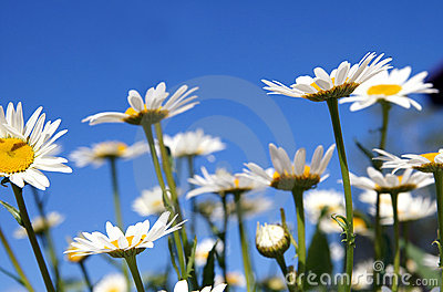 Camomiles on a blue sky