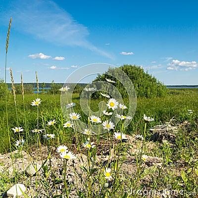 Camomiles on natural landscape background