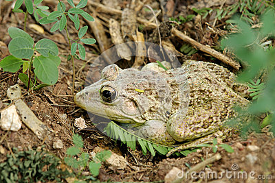 A camouflage toad