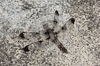 Camouflaged Dragonfly