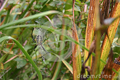 Camouflaged Golden Orb Spider Waits on Web