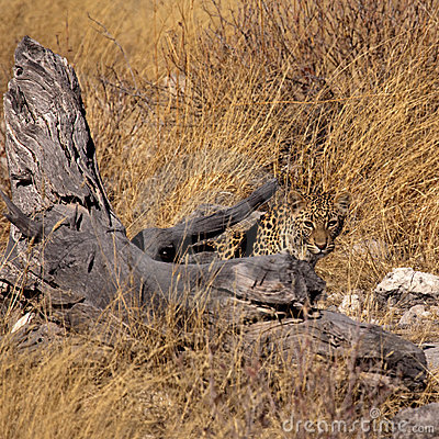 Free Camouflaged Leopard Royalty Free Stock Photography - 10854967