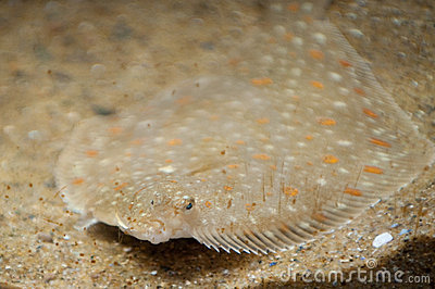 Camouflaged ray fish