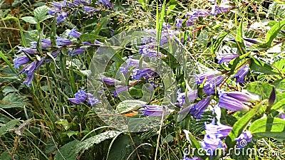 Campainha na Sino-flor da floresta no dia ensolarado Diversidade do ambiente do verão Non-scripta do Hyacinthoides na floresta so vídeos de arquivo