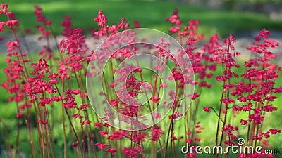 Campanas del coral rojo que se sacuden en el viento metrajes