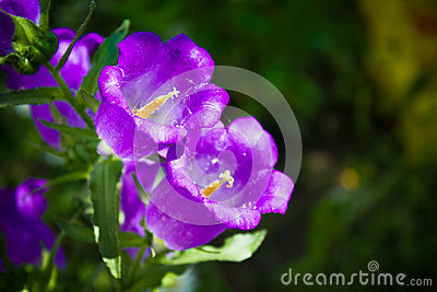 Campanula or canterbury bells