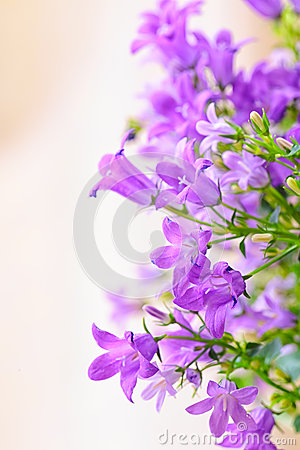 Free Campanula Spring Flowers Stock Photography - 36994292