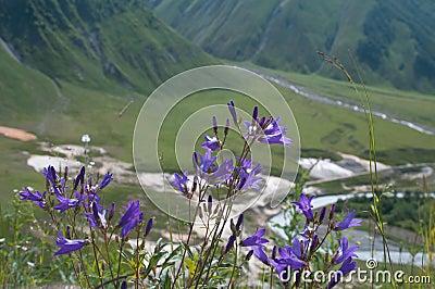 Campanula Wild flower