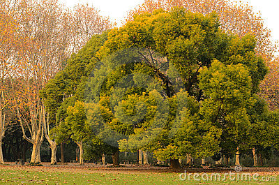 Camphor and Chinars in Sunset Glow