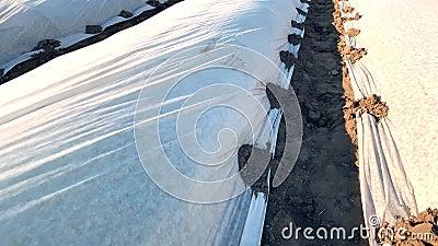 Campi di piantagione di agricoltori coperti da agrofibre di filatura diretta effetto serra Uso della tecnologia in agricoltura video d archivio