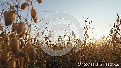 Campo de chickpea pronto para a colheita Campo de chickpea pronto para a colheita Galinhas secas em grão-de-bico num campo ao fun filme