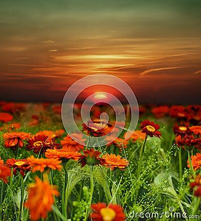 Campo de flor de la puesta del sol