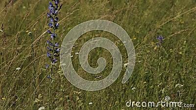 Campo de flor de la lavanda con las montañas Provence almacen de metraje de vídeo