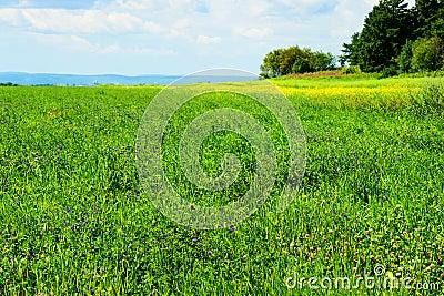Campo de la alfalfa en la floración