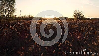 Campo de la puesta del sol de lámina metrajes