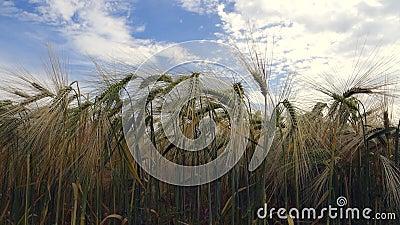 Campo de trigo almacen de video