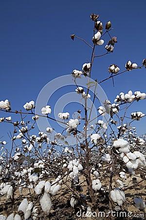 Campo del algodón