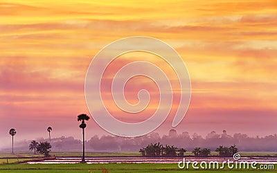 Campo del arroz en crepúsculo