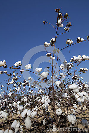 Campo del cotone