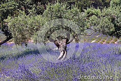 Campo del olivo y de la lavanda, Francia 016 Foto de archivo - Imagen: 17644810