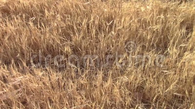 Campo dell'orzo stock footage
