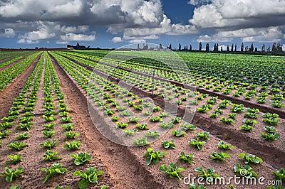 Campo della lattuga