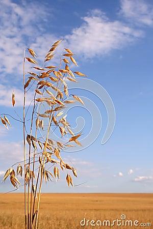 Campo di cereale (avena)
